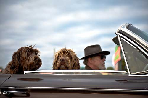 Man driving open convertible with 2 dog
